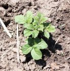 Potato Plant Coming Up
