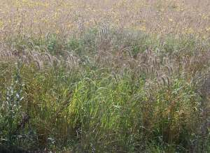 Prairie Grasses in Late Summer