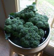 Broccoli Harvest