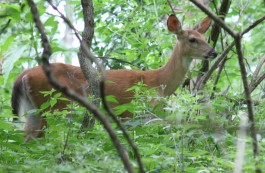 Deer in the Park - Photo Credit Heidi Jo Smith