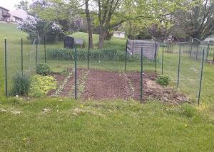 Lettuce Transplanted