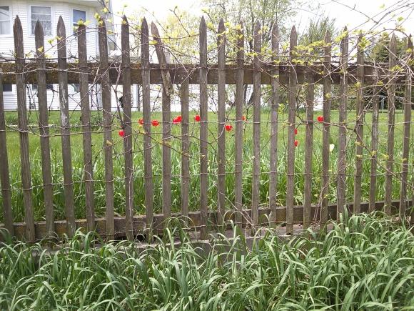 Tulips on the Fenceline