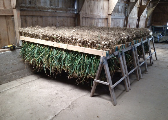 Garlic Curing in the Barn