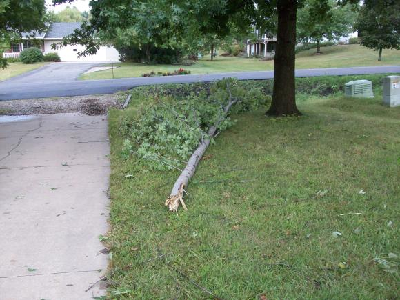 ... the maple tree lost two. One fell to the ground...