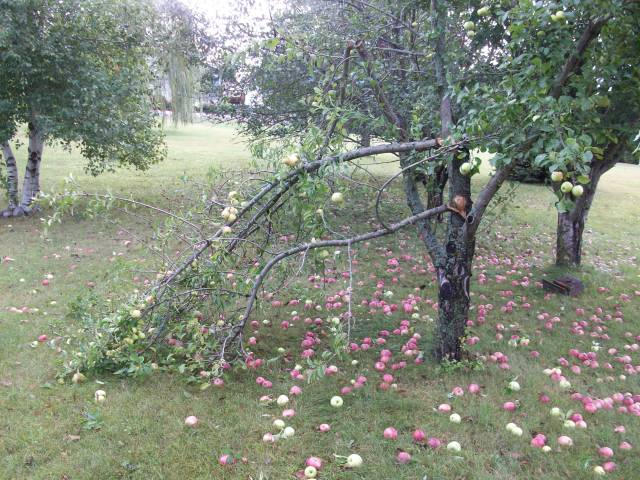 The Golden Delicious apple tree lost another branch...