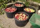 Livestock Apples
