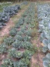 Cabbage Regrowth