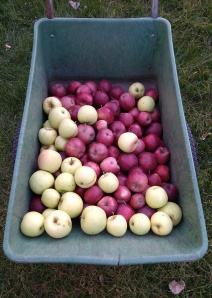 Golden and Red Delicious Apples