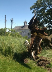 Storm Damaged Walnut Tree