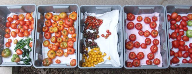 A Day's Tomato Harvest