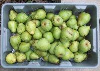 2014 Pear Harvest