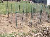Pea Planting Space