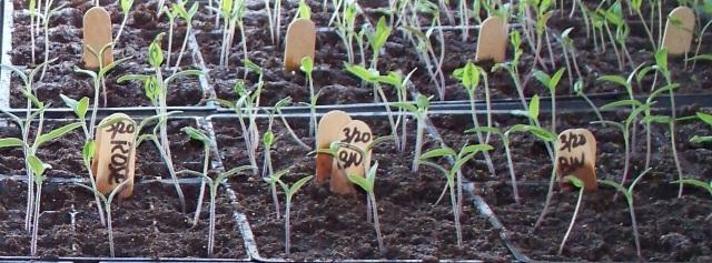 2015 Tomato Seedlings
