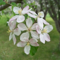 Memory of Apple Blossoms