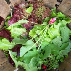 Basket of Mixed Greens and Radishes