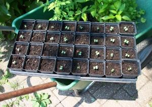 Broccoli Seedlings