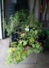 Extra Garden Seedlings