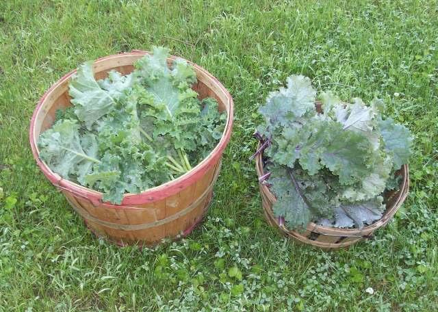 Morning Kale Harvest