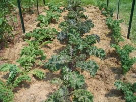 The Kale has been Mulched