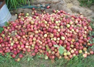 Fallen Apple Pile