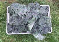 Picked Scarlet Kale