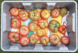 Daily Tomato Harvest