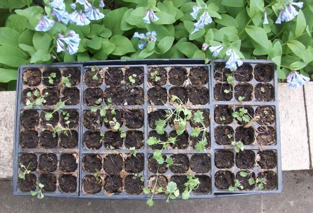 Kale Seedlings Sunning