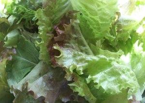 Belgian Lettuce Harvest