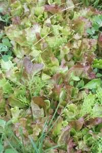 Belgian Lettuce