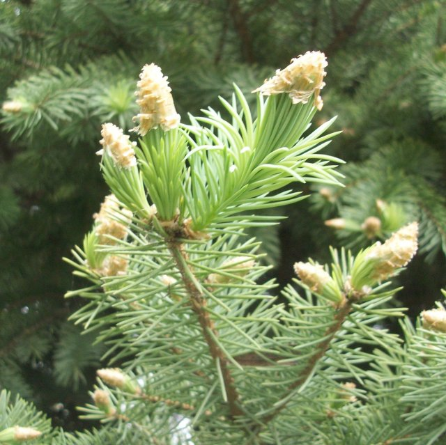 New Growth on the Blue Spruce