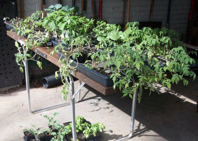 Last Trays of Seedlings for the Garden