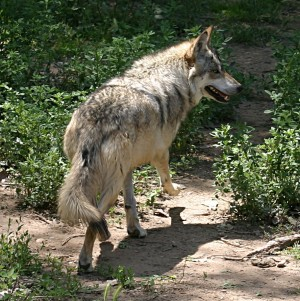 Mexican Wolf Photo Credit: Wikimedia Commons