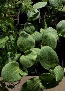 Turk's Turban Squash Seedlings