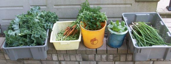 Last Saturday of Spring Harvest - kale, peas, carrots, celery, oregano, basil and spring onions.
