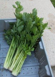 Freshly Picked Celery