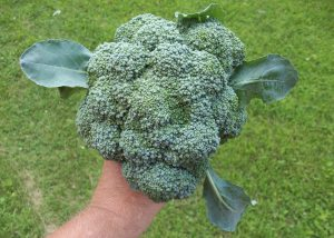 First Pick of the Broccoli