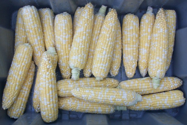 Locally Grown Sweet Corn