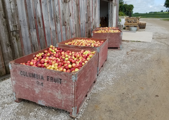Burgundy Apples Waiting Precessing into Baked Goods and Cider