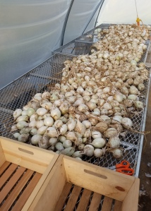 Onion Trimming Work Station
