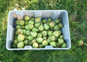 Crate of pears.